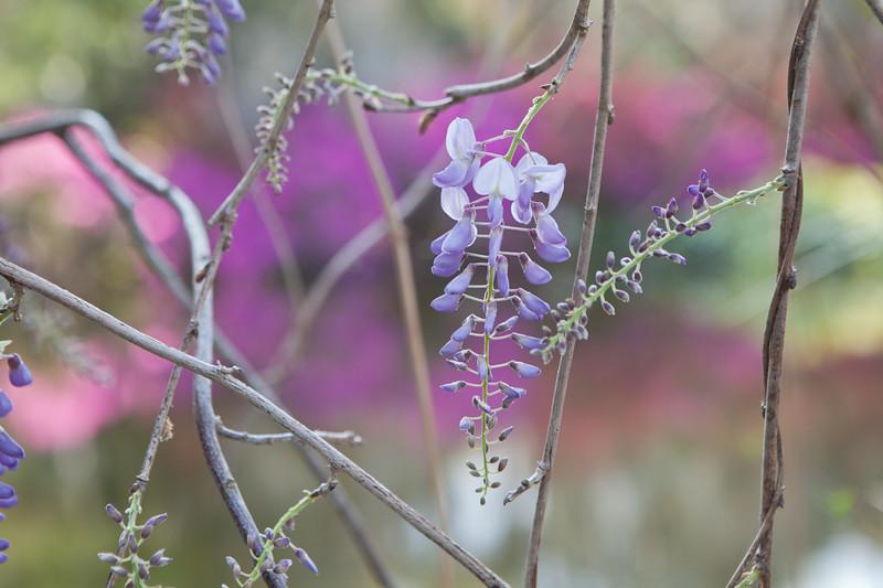 Blue wisteria