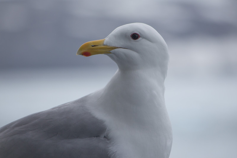Glaucus-winged gull, Alaska