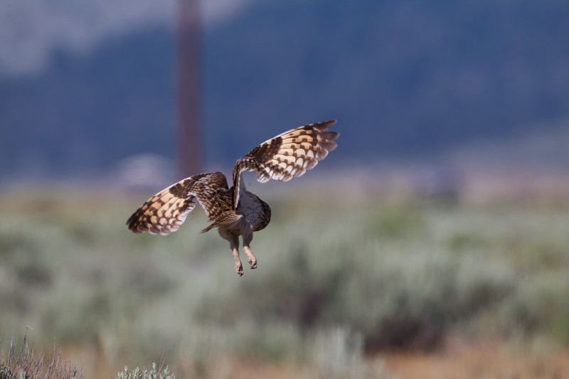 Short-eared Owl - Sierra Valley, CA, USA