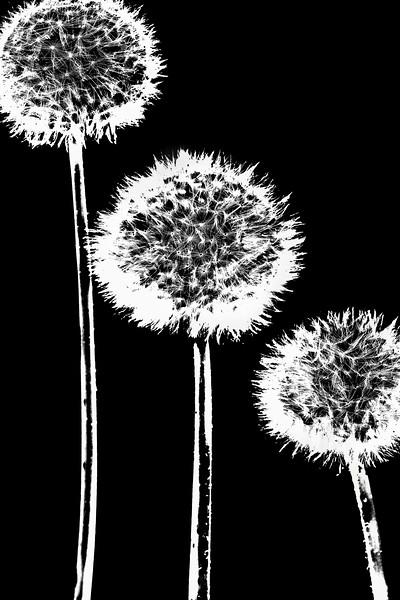 dandelions pure black and white.jpg