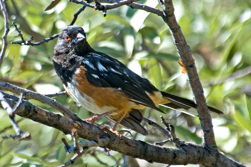 Towhee - Spotted - Carr Canyon, AZ