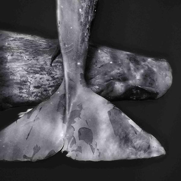 Grand cachalot 2 Physeter macrocephalus-île Maurice_océan Indien.jpg