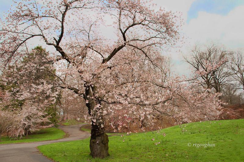 April 13_BranchBrookCherryBlossoms_7714.jpg