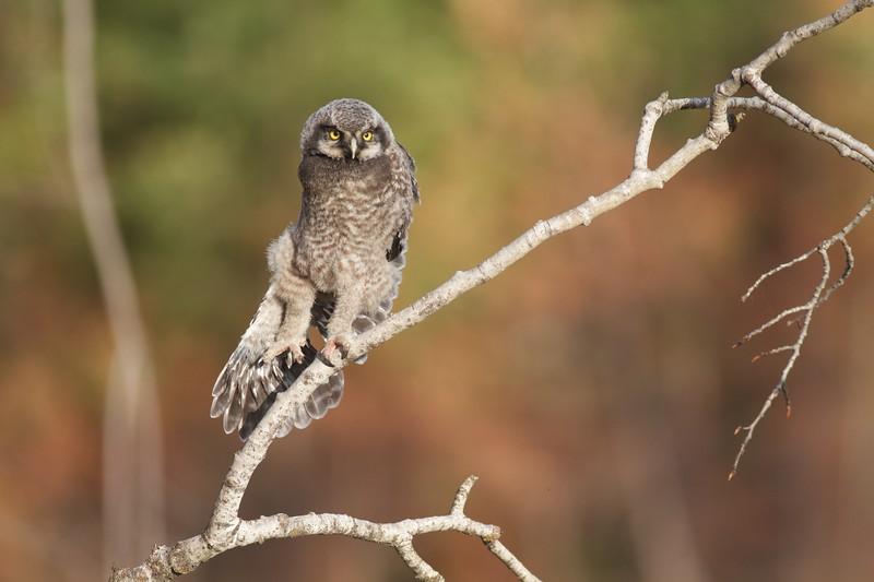 Northern Hawk Owl baby juvenile Owl Ave Sax-Zim Bog MN Northern Hawk Owl baby juvenile Owl Avenue Sax-Zim Bog MN IMG_1169.jpg