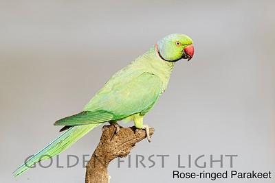 Rose-ringed Parakeet, Ranthambhore, India