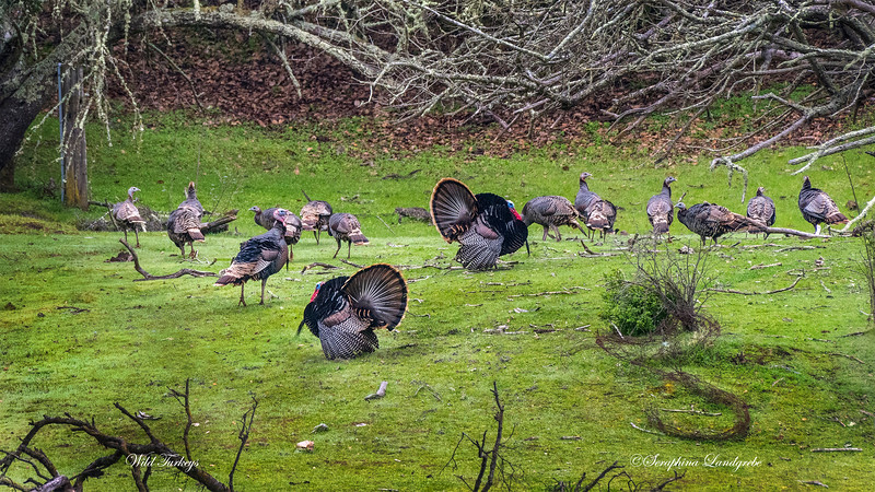 _DSC5920Wild Turkeys.jpg