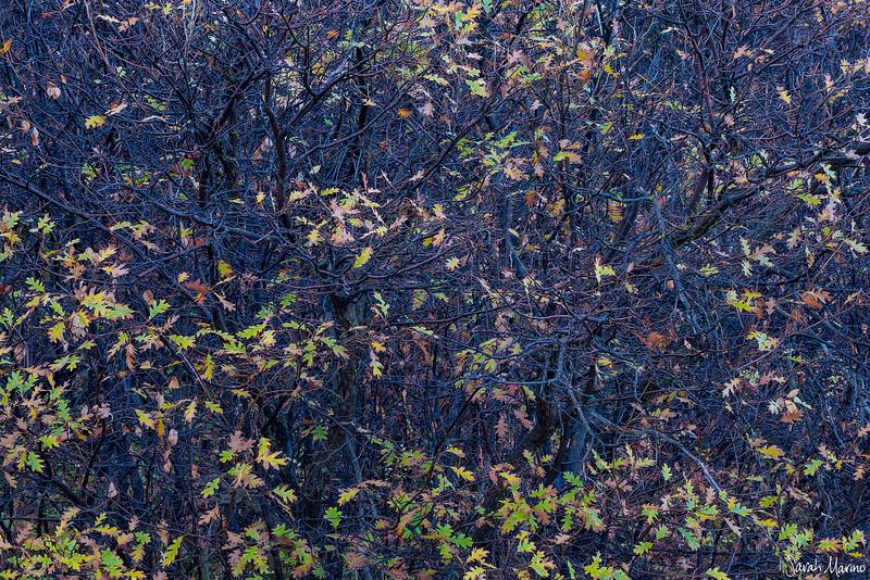 Late Autumn Oaks