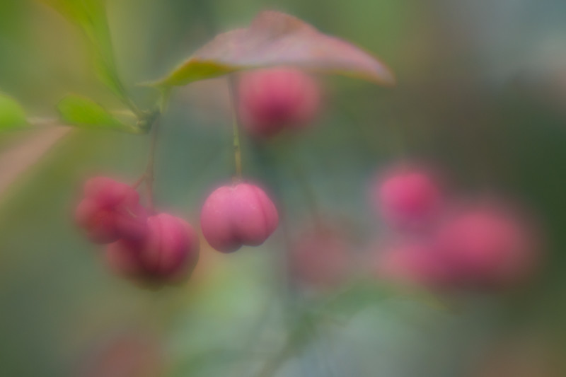 Spindle tree berries