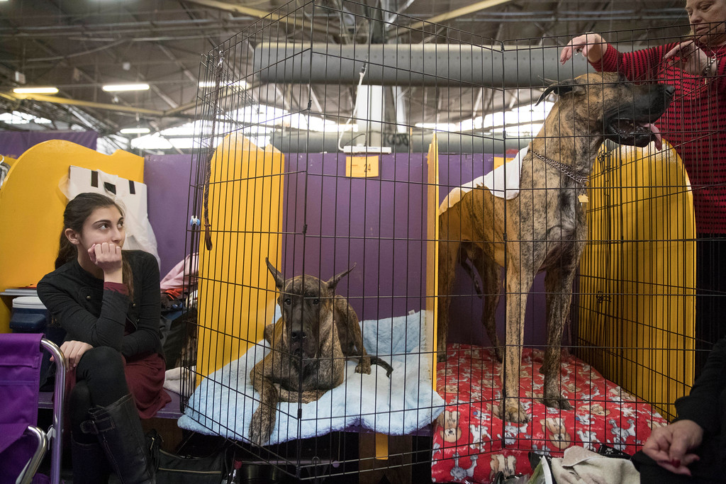 . Great Danes and their handlers wait to compete in the benching area during the 141st Westminster Kennel Club Dog Show, Tuesday, Feb. 14, 2017, in New York. (AP Photo/Mary Altaffer)