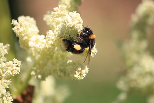 Bumble bee on Rhubarb flower in New Zealand