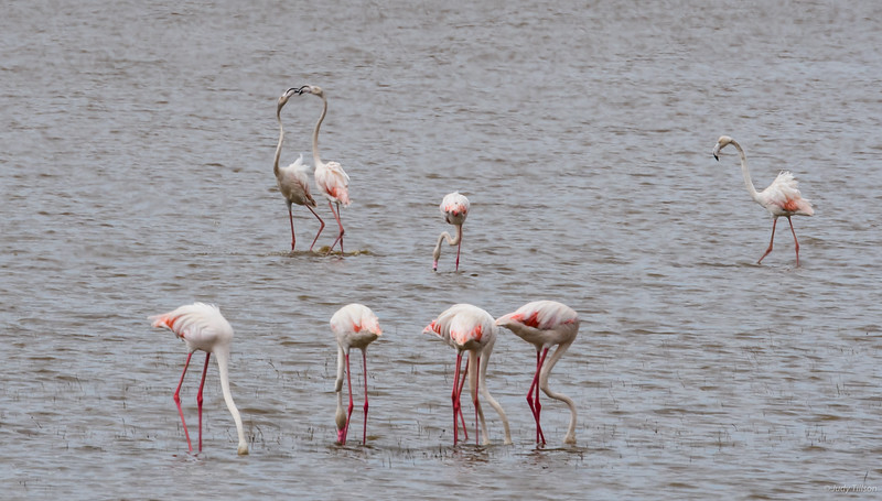 Lake Manyara flamingoes-2018.jpg