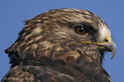 Misc. Hawks