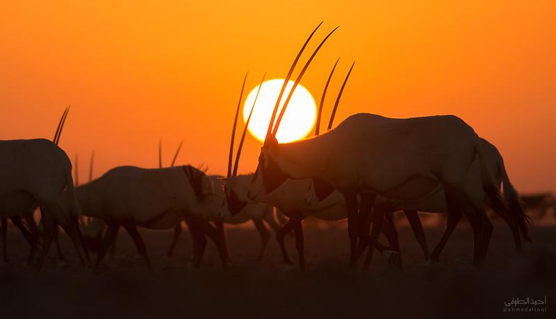 Arabian Oryx (5).jpg