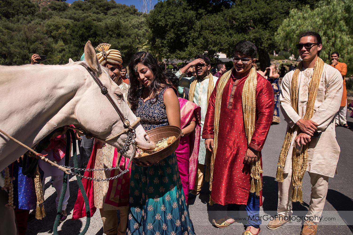 groom's sister feeding whithe horse during Indian wedding Baraat Swagat at Elliston Vineyards in Sunol