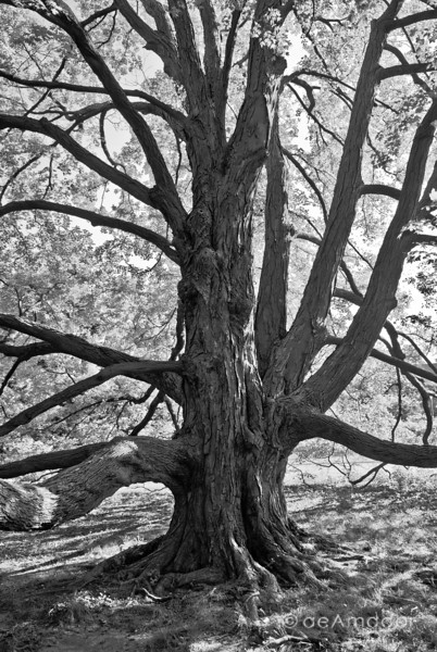 The Sugar Maple at Cylburn-aeamador-0029.jpg