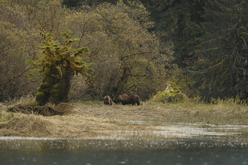 Grizzly bears sighted