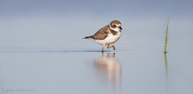 Semipalmated plover_v2-O8U4092-Edit.jpg