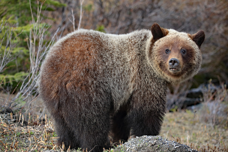Two year old grizzly A