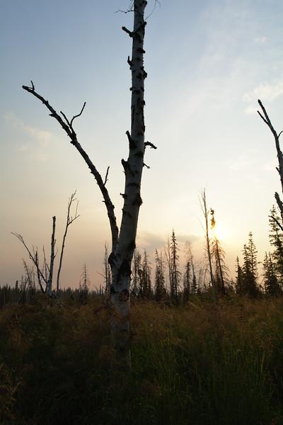 Dead Birch and Smoke