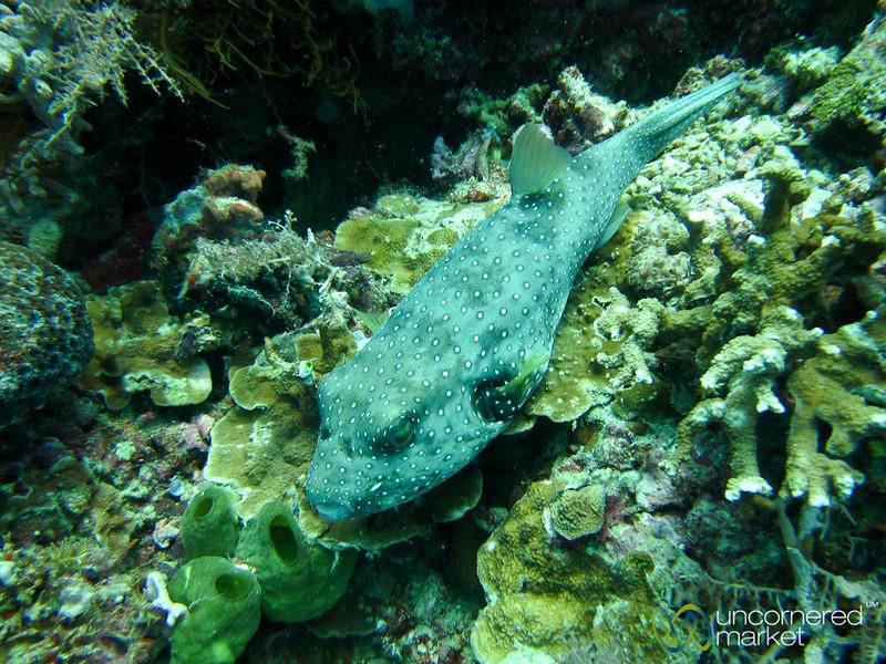Puffer Fish - Menjangan Island, Indonesia