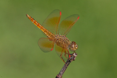 Thailand - Dragonflies and Damselflies (Odonata)