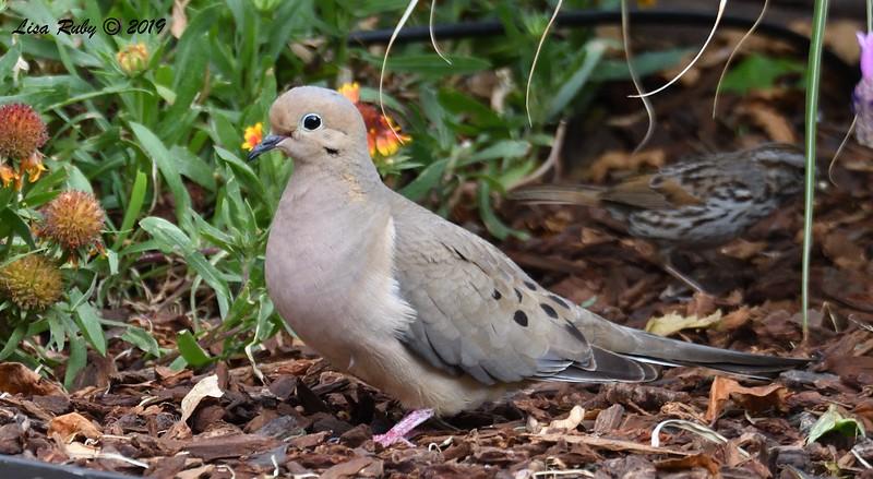 Mourning Dove - 6/9/2019 - Sabre Springs Backyard
