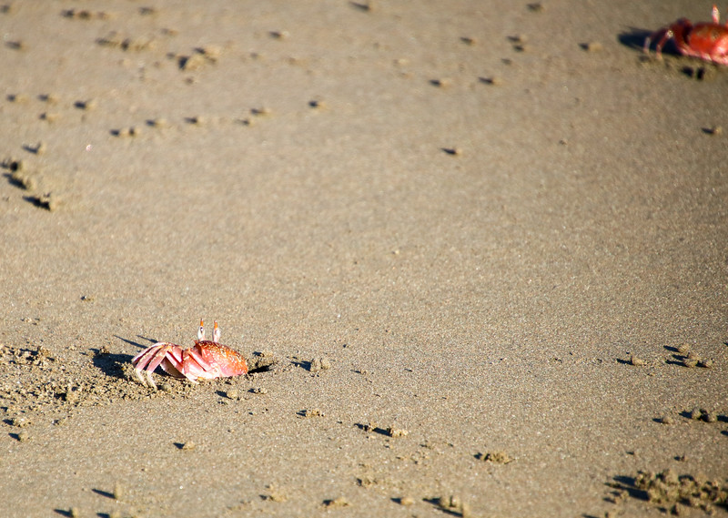 Red Crabs on the beach