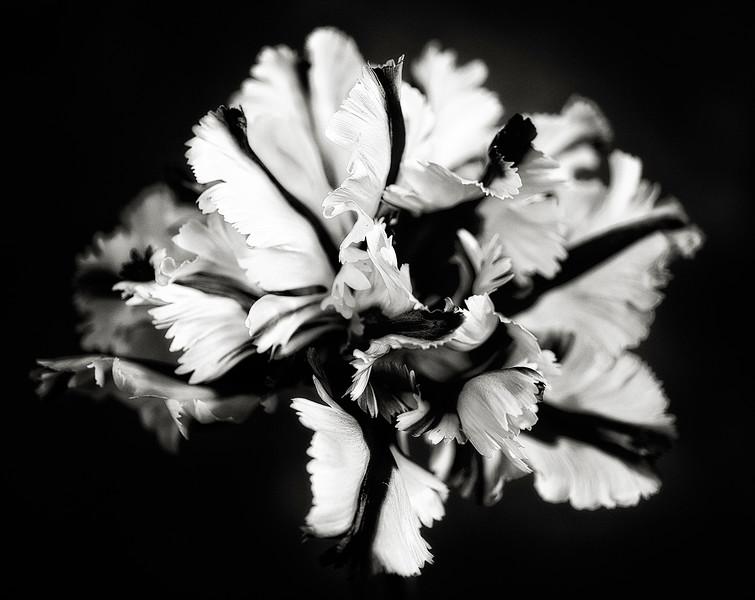 parrot-tulip-01.jpg