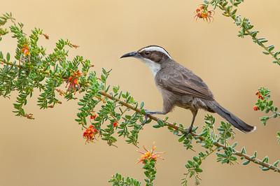 Babblers, Wedgebills, Whipbirds