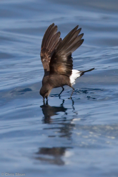 Wilson's Storm-Petrel adult at Gulf Stream pelagic off Hatteras, NC (06-03-2010) - 978-Edit