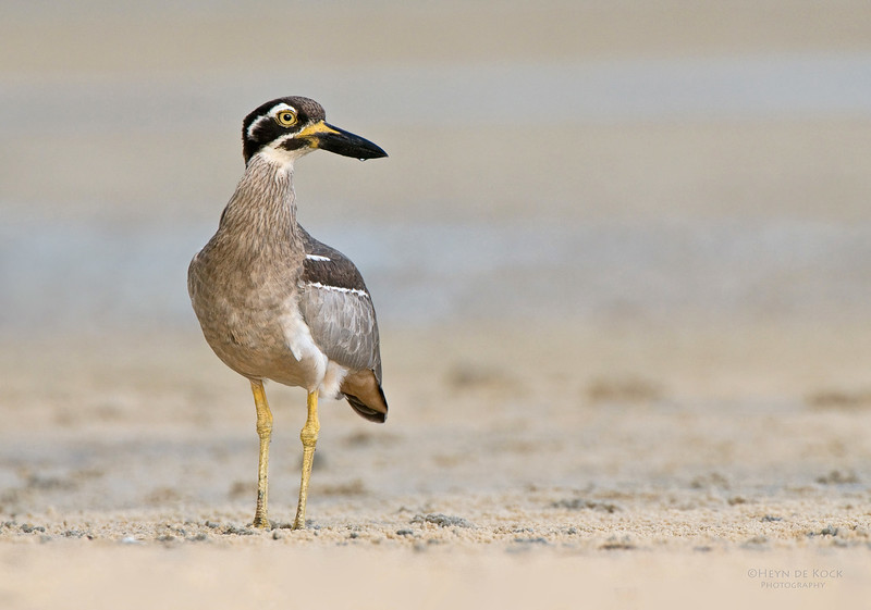 Beach Stone-curlew, Inskip Point, Qld, Aus, May 2011-2.jpg