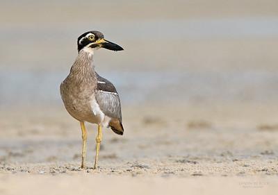 Stone-curlews & Thick-knees (Burhinidae)