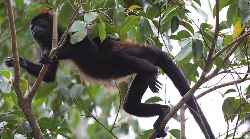 costa_rica_howler_monkey_14.JPG