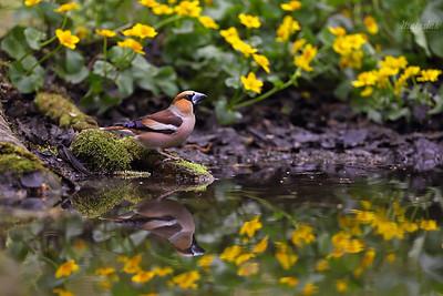 Łuszczaki i wróble /  Finches & Sparrows