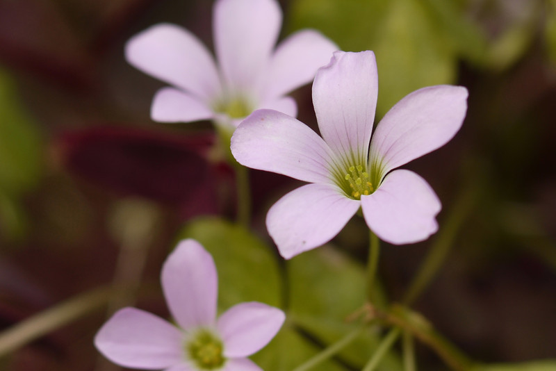 Pink Oxalis, Pat Heung, N.T. HK. Grows everywhere, quite often the first thing to appear after land has been cleared.