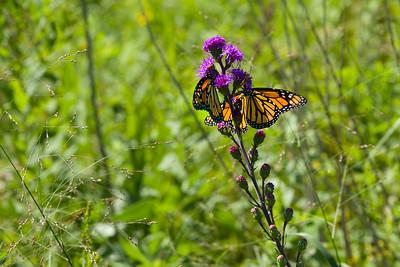 Monarch Butterflies at Wild Center – August 2019
