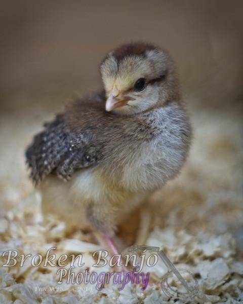 Chicks031high.JPG