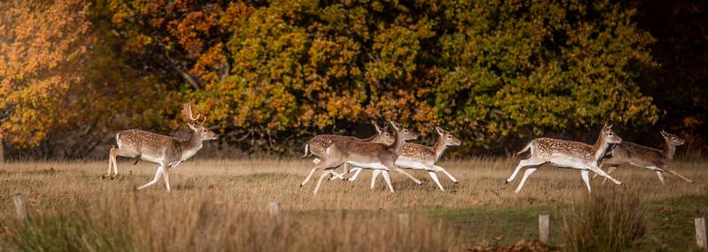 2019 - Deer at Knole Park November 011