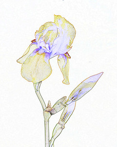 Iris flower in Watercolor set 2127