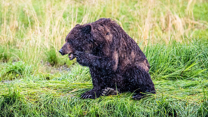 Brown Bear on the Bank.jpg
