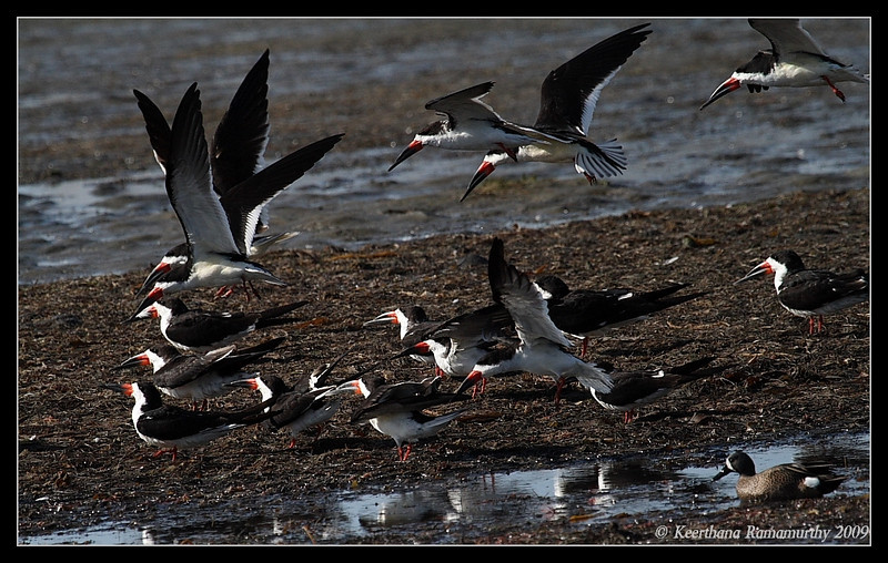 Black Skimmer flock, Robb Field, San Diego River, San Diego County, California, April 2009
