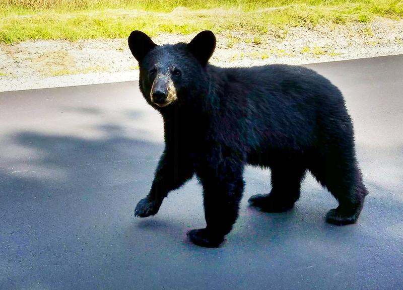 Black Bear on South Shore Drive