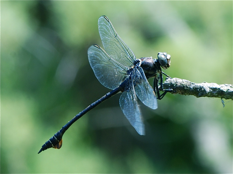 Blade Tail Dragonfly- Lineria tetraphylla released back onto branch, Camargue South of France 2009 ak