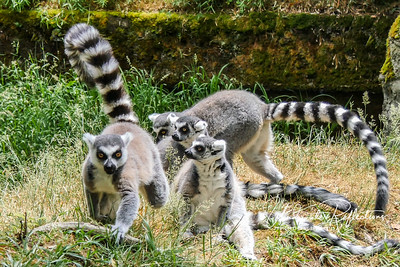 Ring-tailed Lemurs of Woodland Park Zoo