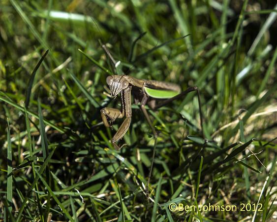Praying Mantis Fall 2012
