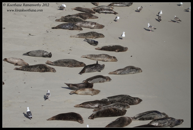 Harbor Seals in the Children's Pool, La Jolla Cove, San Diego County, California, April 2012