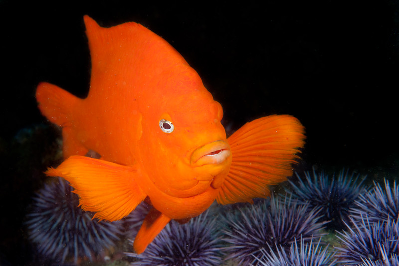 The unmistakable Garibaldi (California's state fish), guarding his territory in the Channel Islands.