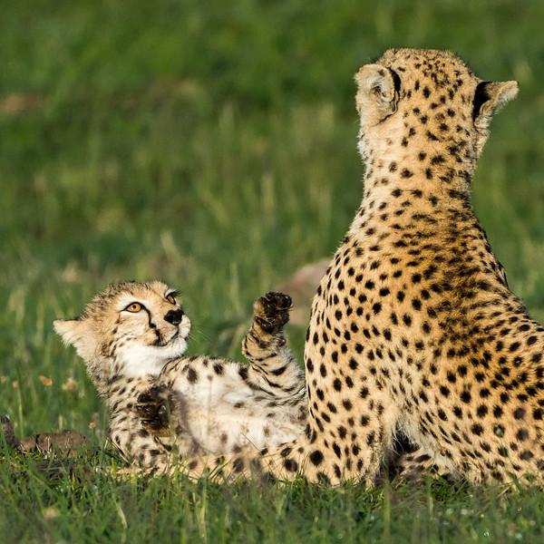 Cheetahs-0219.jpg