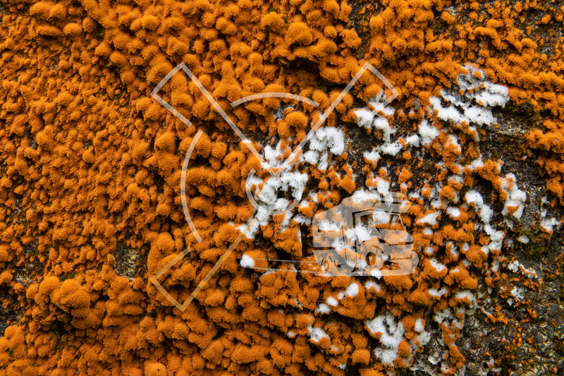 Colorful orange lichen (xanthoria) fouling overgrowing ruins and abandoned buildings in Sao Miguel