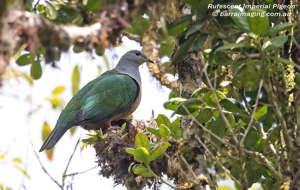 Rufescent Imperial Pigeon Ducula chalconota